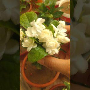 good morning naka pitas na naman ng flowers sa garden so fresh and beautiful flowers
